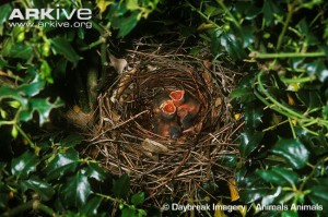 Northern-cardinal-hatchlings-in-nest