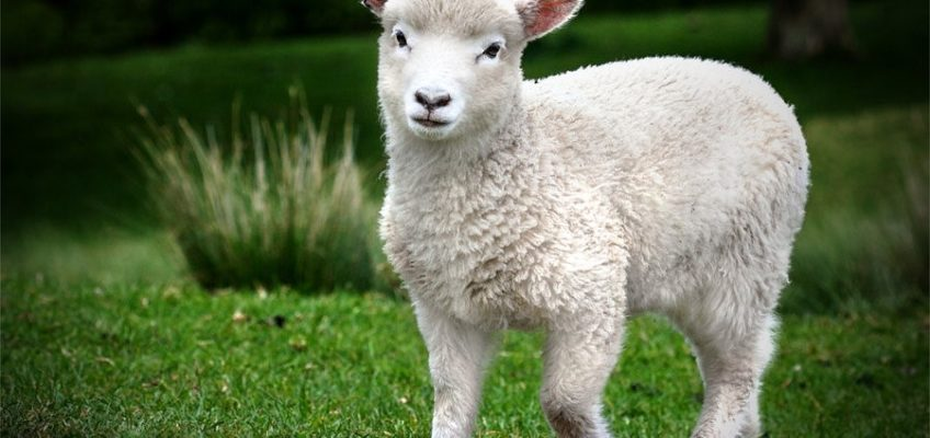 In the Shepherd's Care